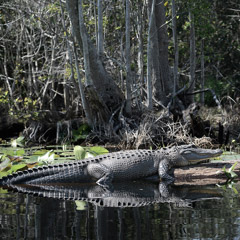 Diane Kirkland  -  Alligator, Okefenokee, GA / Pigment Print  -  Available in Multiple Sizes