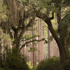 Diane Kirkland  -  Ichaway Pines, GA / Pigment Print  -  Available in Multiple Sizes