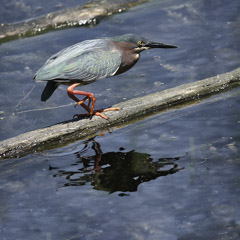 Diane Kirkland  -  Green Heron,Harris Neck, Wildlife Refuge / Pigment Print  -  Available in Multiple Sizes