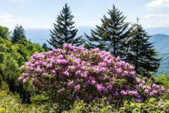 Tim Barnwell  -  Catawba Rhododendron Blue Ridge Parkway / Pigment Print  -  Available in Multiple Sizes
