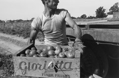 Pirkle Jones  -  Man lifting box of tomatoes, Walnut Grove: Portrait of a Town, 1961 / Silver Gelatin Print  -  8.75x13