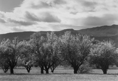 Pirkle Jones  -  Orchard in Bloom.1956 / Silver Gelatin Print  -  11 x 14