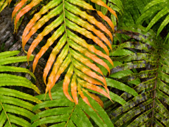 Rex Naden  -  Multicolored Ferns, 2008 /   -  Available in Multiple Sizes