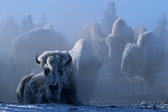 Tom Murphy  -  Bison at 35 Below Zero / Color Pigment Print  -  Available in multiple sizes