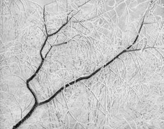 Tim Barnwell  -  Snow Branches, 2013 /   -