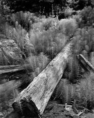 Wynn Bullock  -  Log and Horsetails, 1957 / Pigment Print  -  9x12, 11x14 or 16x20
