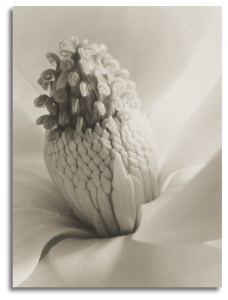 Imogen Cunningham: Magnolia, Tower of Jewels, 1925